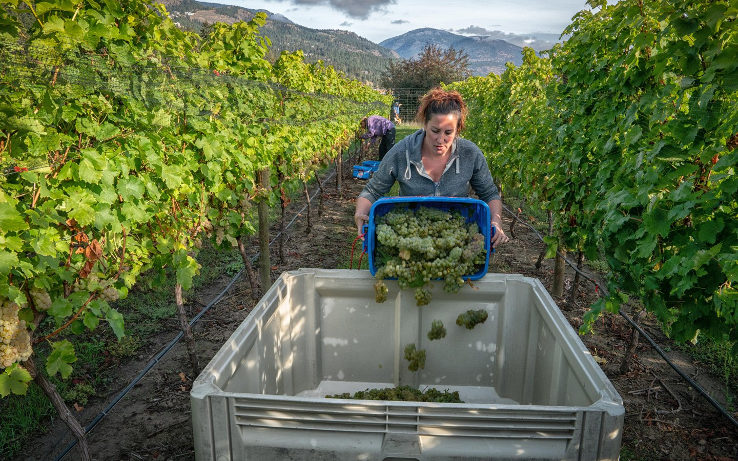 http://spatulamedia.ca/wp-content/uploads/2019/05/Indigenous-World-Winery-picking.jpg