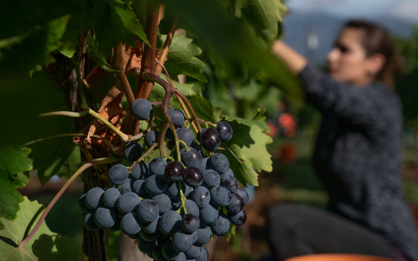 http://spatulamedia.ca/wp-content/uploads/2019/05/picking-grapes-at-Indigenous-World-Winery.jpg